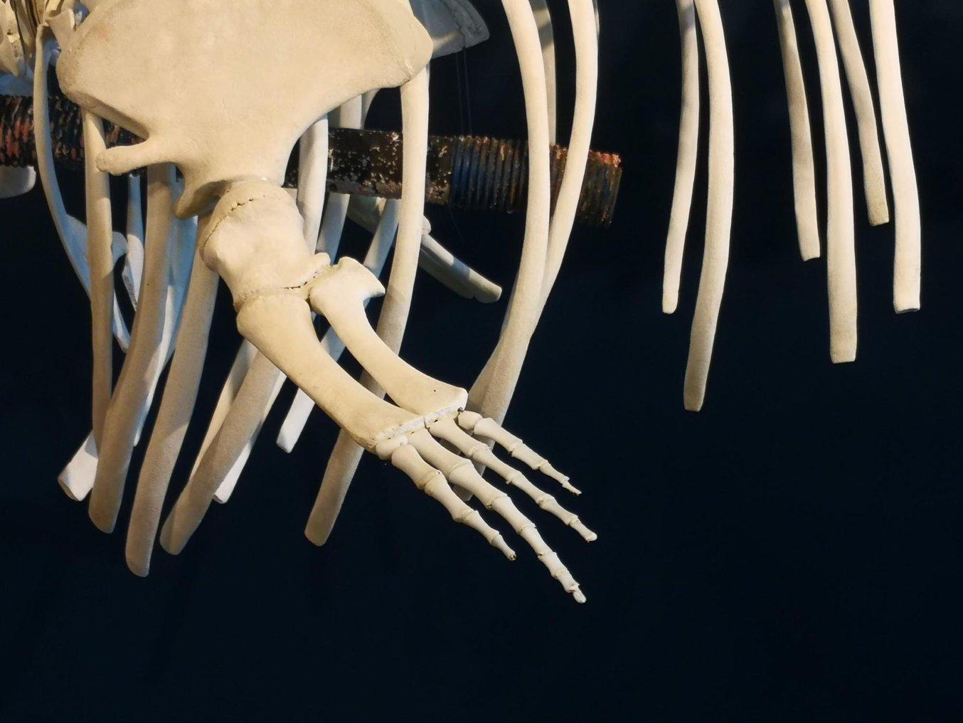 Die Knochen für die Flossen dieses Walskeletts wurden komplett mit 3D-Druck hergestellt.