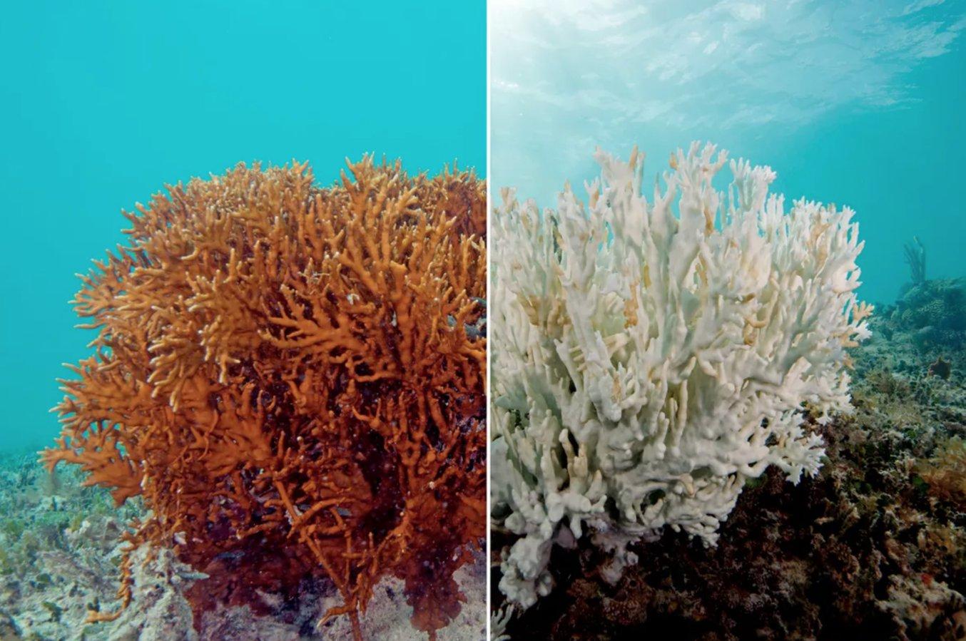 Eine Koralle vor und nach der Bleiche