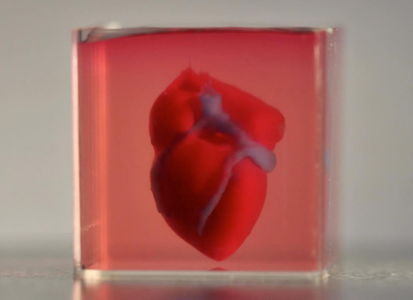 Il primo cuore biostampato in 3D, creato all'Università di Tel Aviv.